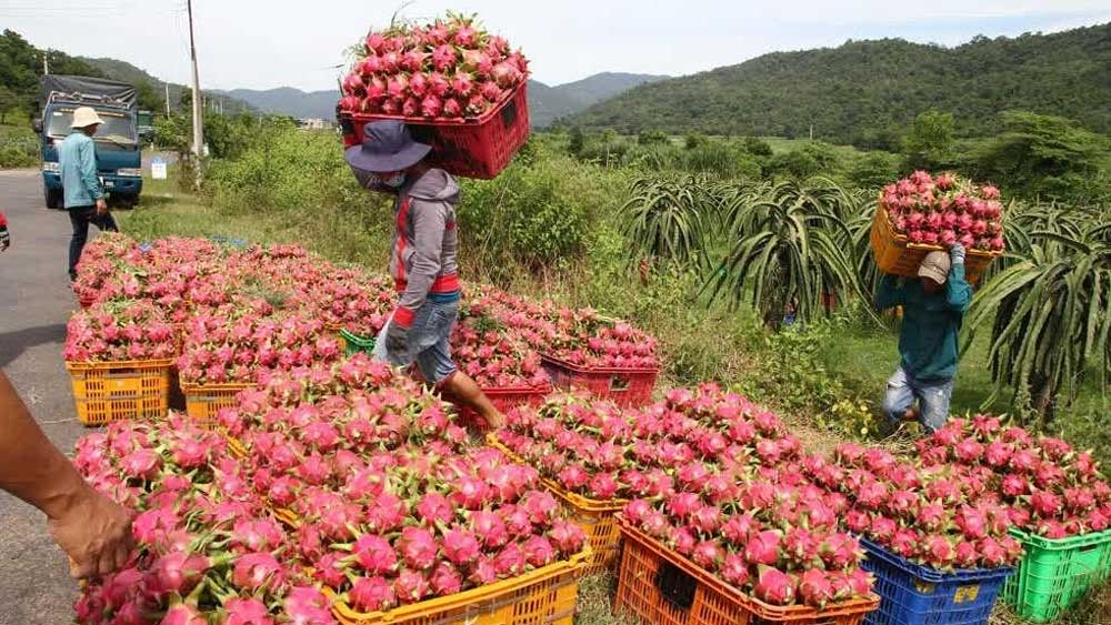Son La province, exports, 10 tonnes, red dragon fruit, Russia market, good news, local farmers, export opportunities
