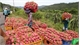 Son La exports 10 tonnes of red dragon fruit to Russia