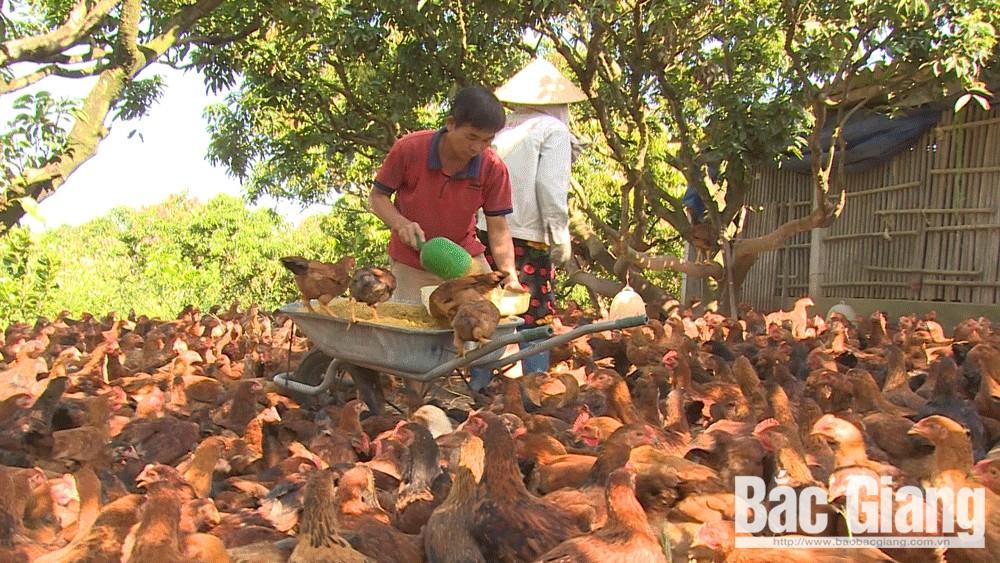 Mô hình nuôi gà cho thu nhập cao tại thôn Đề Thám, xã Đồng Tâm.