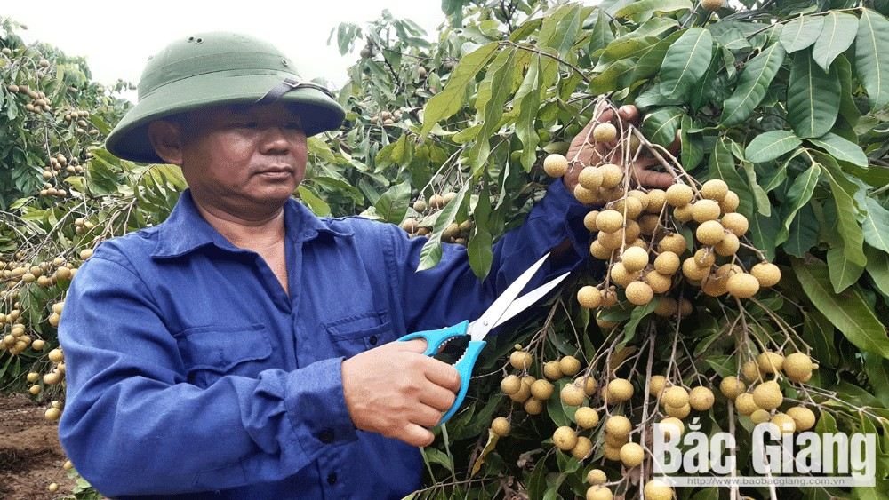 Bac Giang enjoy bumper season of late ripen longan