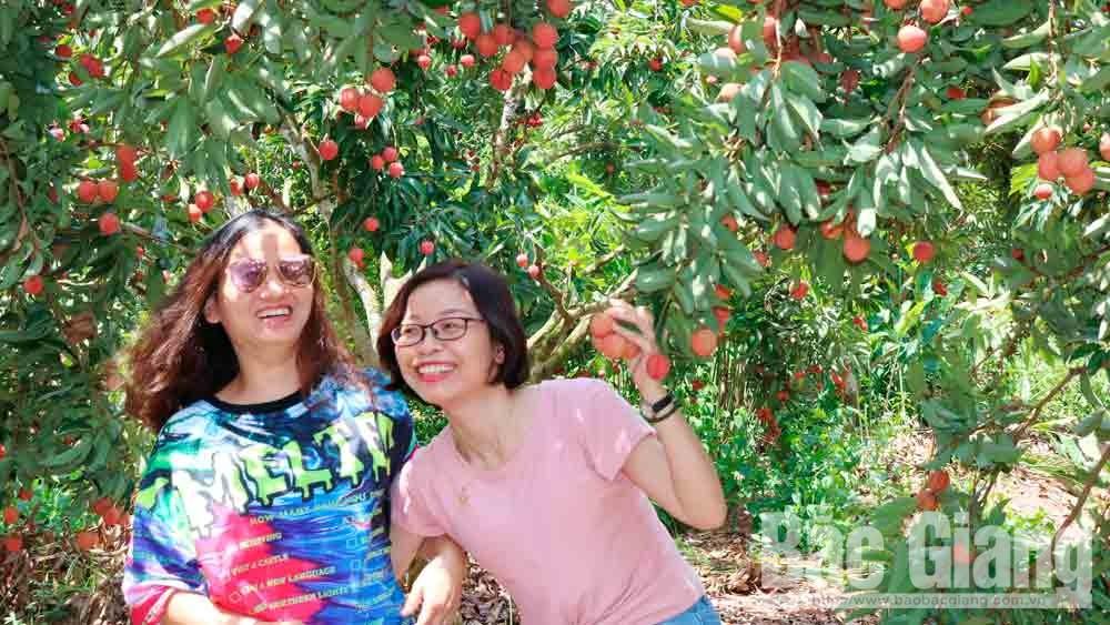 Du khách thăm vườn vải tại Lục Ngạn.