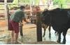 Đắk Lắk: Bắt quả tang một lò mổ bơm nước vào bụng bò trước khi giết mổ