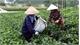 Promoting safe tea production models