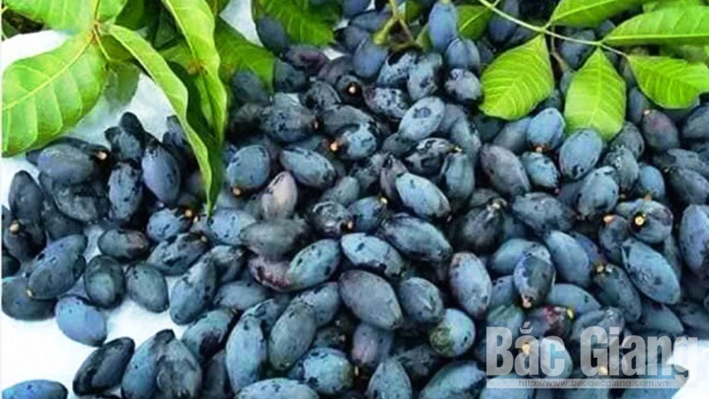 Hoang Van commune (Bac Giang) harvests 44 tonnes of black canarium