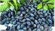 Hoang Van commune (Bac Giang) harvests 44 tonnes of black canarium