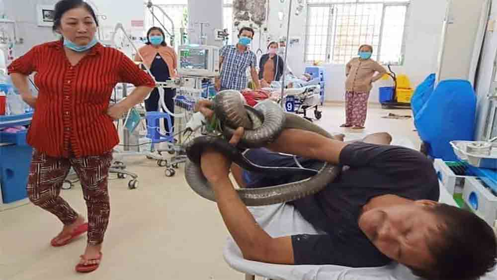 38-year-old man, three-meter king cobra, intensive care unit,  critical condition, giant snake, ventilation support, fatality rate