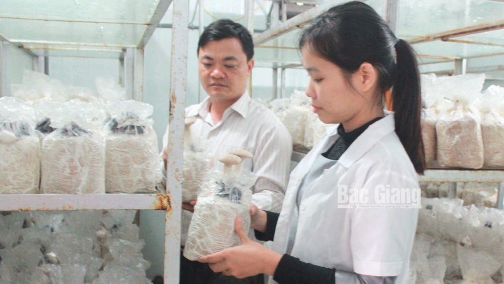 Bac Giang successfully produces various high quality mushrooms