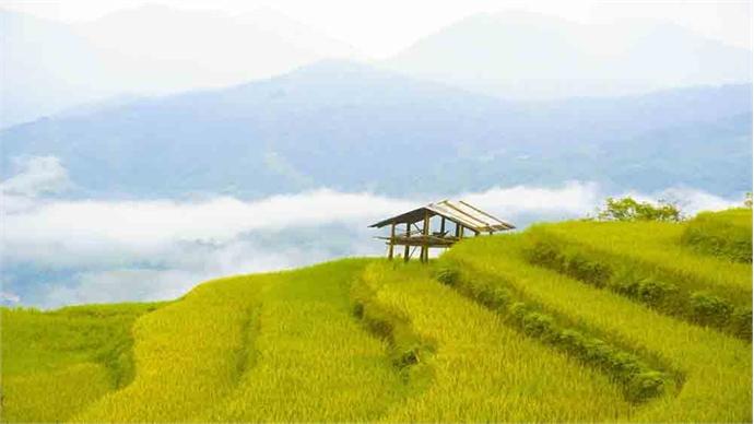 Golden rice season in northern Vietnam village Nam Hong