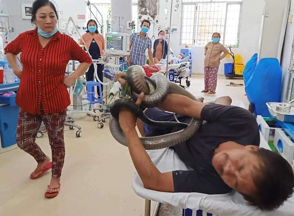 Man hospitalized with king cobra, southern Vietnam, recovers, three-meter king cobra, intensive care, giant snake