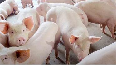Bắc Giang: Tập trung bảo vệ đàn lợn nái phục vụ tái đàn