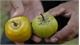 Fruitful work: northern highlands district plucks trademark persimmons