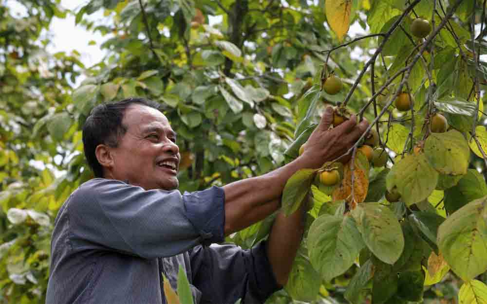 Fruitful work, northern highlands district, trademark persimmons, Lang Son province, distinctively crispy and sweet