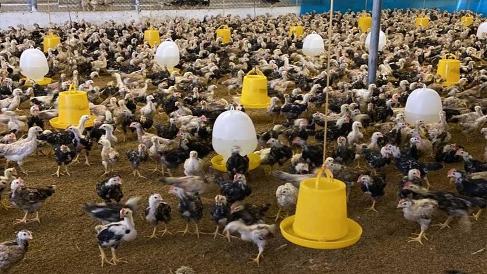 Chiến lược chăn nuôi đến 2030, 100 triệu tấn chất thải , ngành chăn nuôi