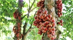 Central Vietnam district turns red with ripening Burmese grapes