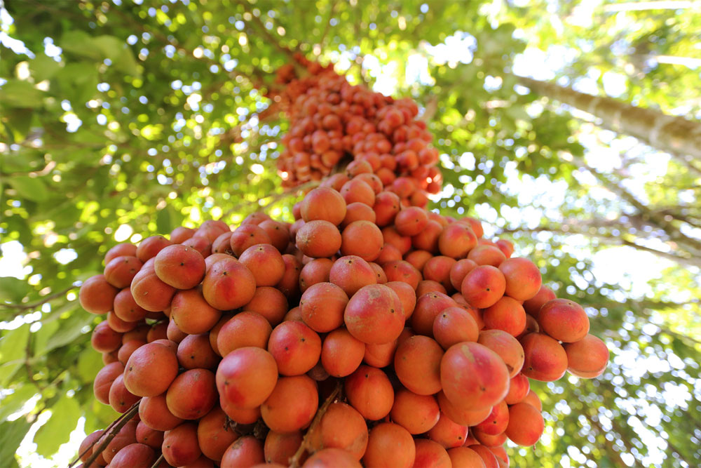 Central Vietnam district, turns red, ripening Burmese grapes, fruit trees, sweet and sour taste, great economic value