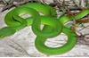 Truyền 18 lọ huyết thanh cứu bệnh nhân bị rắn lục đuôi đỏ cắn