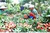 Phó Chủ tịch UBND huyện Lục Ngạn  Nguyễn Thế Thi: Rà soát, định hướng vùng sản xuất tập trung, chuyên canh cây trồng chủ lực