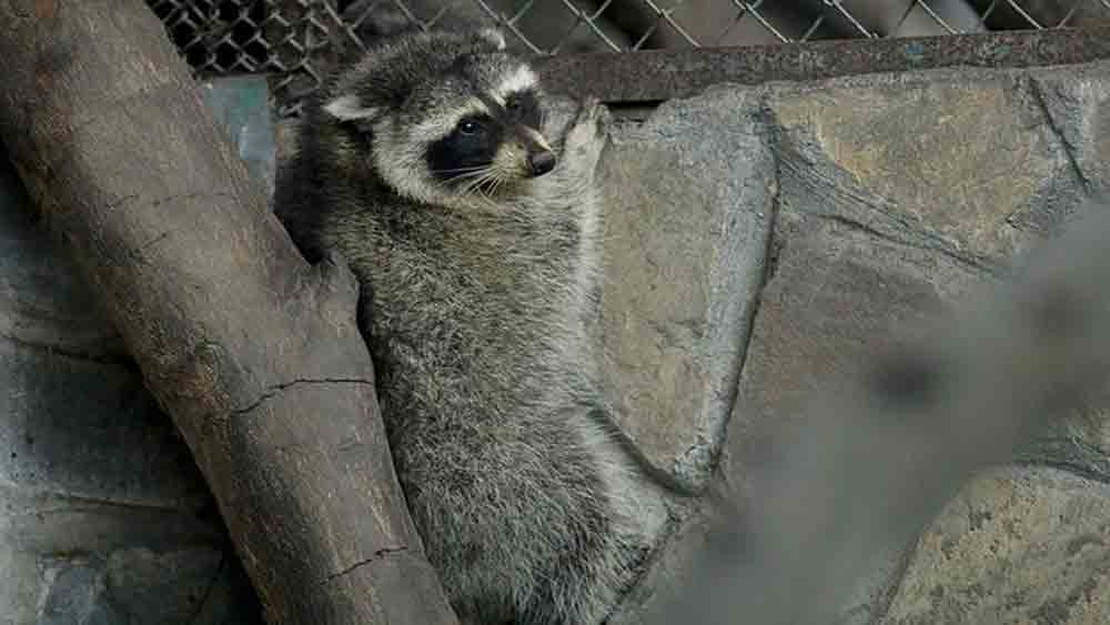 Raccoon, sneaks into Vietnam, US, refrigerated container, Saigon zoo, Wildlife protection, food container, rescue team
