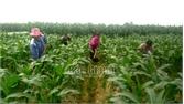 Tân Yên liên kết sản xuất theo chuỗi,  tăng giá trị nông sản