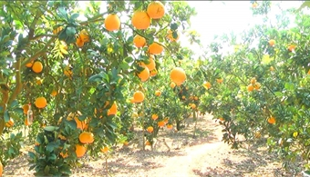 "Luc Ngan launches Plan ""Experimental tourism on orange and pomelo season"""