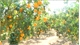 "Luc Ngan launches Plan ""Experimental tourism on orange and pomelo season"""