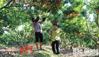 Bac Giang cares for 186 lychee growing area codes for export