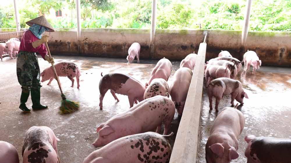 Bắc Giang: Tăng cường phòng, chống dịch bệnh trên đàn lợn