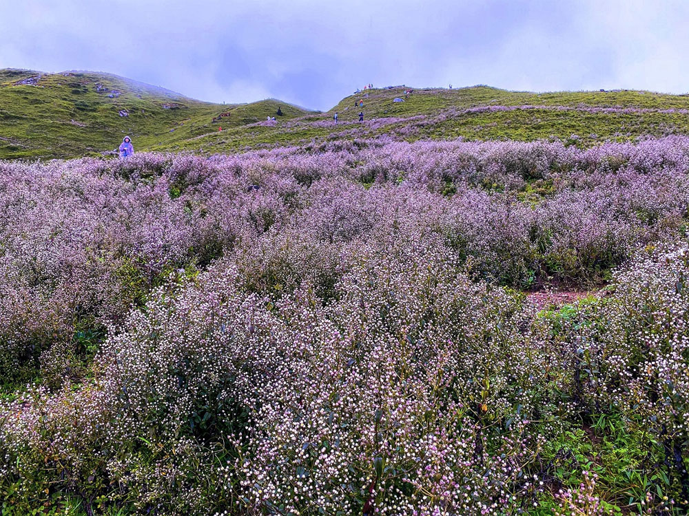 Trekking up, Vietnam's seventh highest peak, Ta Chi Nhu, blankets of violet flowers, northern Vietnam highlands, evident attractiveness