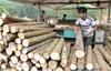 Bắc Giang: Gỗ nguyên liệu tăng giá trở lại sau thời gian dài trầm lắng
