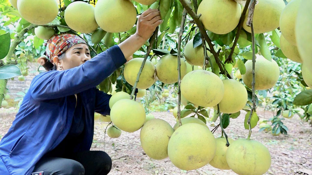 Luc Ngan district, Bac Giang province, all year round fruits, delicious and nutritious lychees, key fruit producing area, high quality fruits, high income