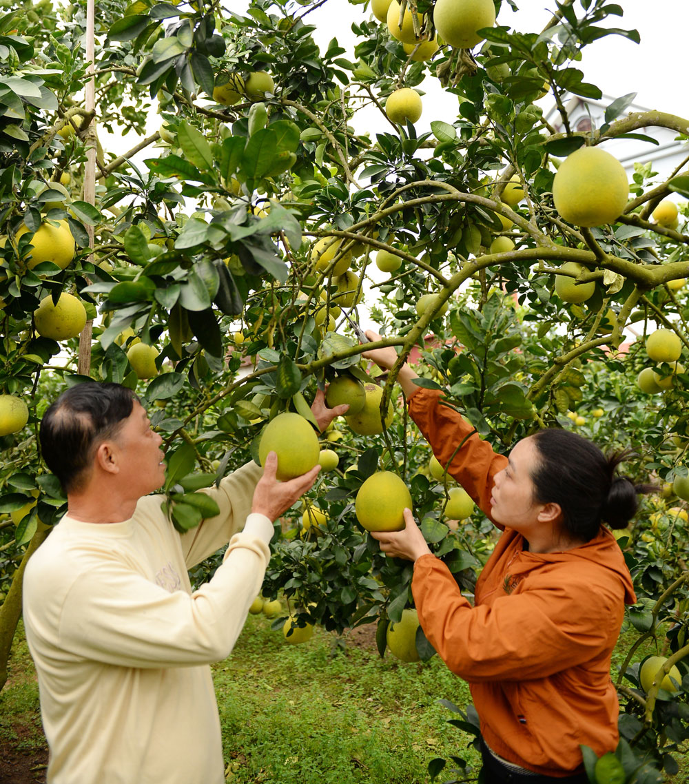 Luc Ngan district, develops citrus trees, Bac Giang province, citrus tree cultivation area, high economic value, yellow flesh orange, pomelo, organic production