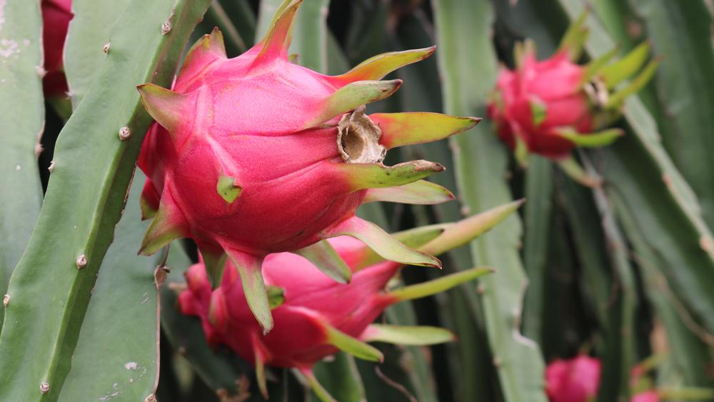 Thanh long ruột đỏ được trồng ở đây cho quả to, chất lượng thơm ngon không thua kém so với trồng ở những tỉnh phía Nam.