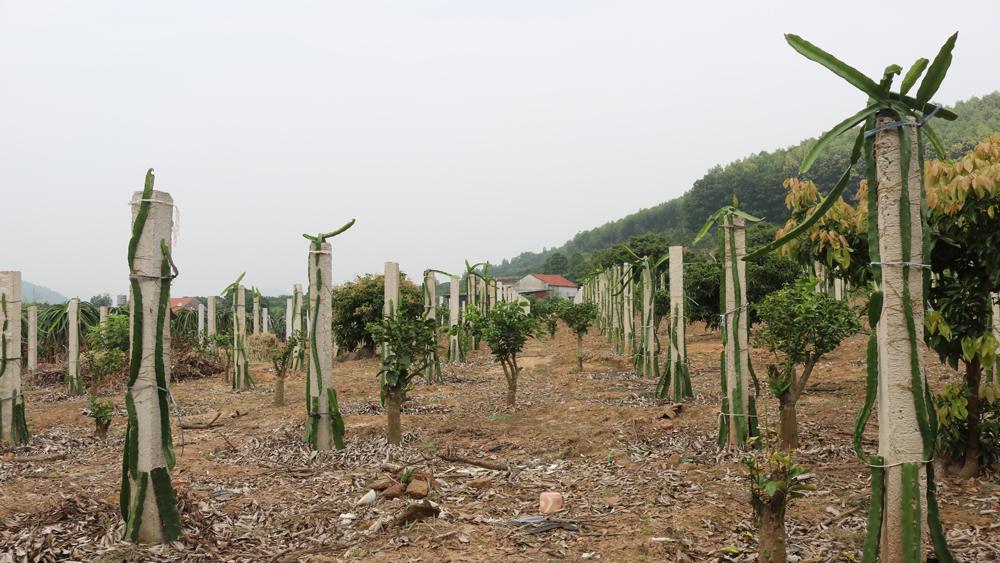 Hiệu quả kinh tế cao nên nhiều hộ ở đây đang mở rộng diện tích cây trồng này, thay thế những vườn cây ăn quả kém hiệu quả hơn.
