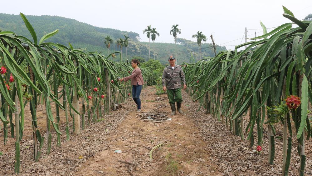 Ngoài trồng theo phương thức truyền thống bằng trụ bê tông, một số hộ dân đã mạnh dạn chuyển sang trồng theo công nghệ của Đài Loan, làm giàn đỡ tay thanh long, cho quả sai, ít sâu bệnh hơn.