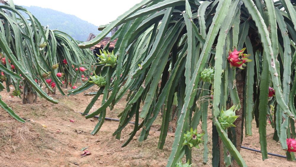 Trồng được 12 tháng thì cây ra hoa, 16 tháng được thu hoạch; thời gian thu hoạch kéo dài, từ tháng 4 đến tháng 12 hàng năm.