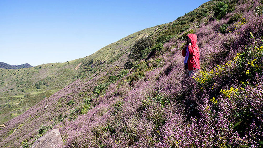 Flower garden, colourful flower garden, peak of the mountain, chi pau, wild flower,  pink and lilac colours, flower field.