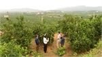 Orange and pomelo laden orchards draw numerous visitors to Luc Ngan