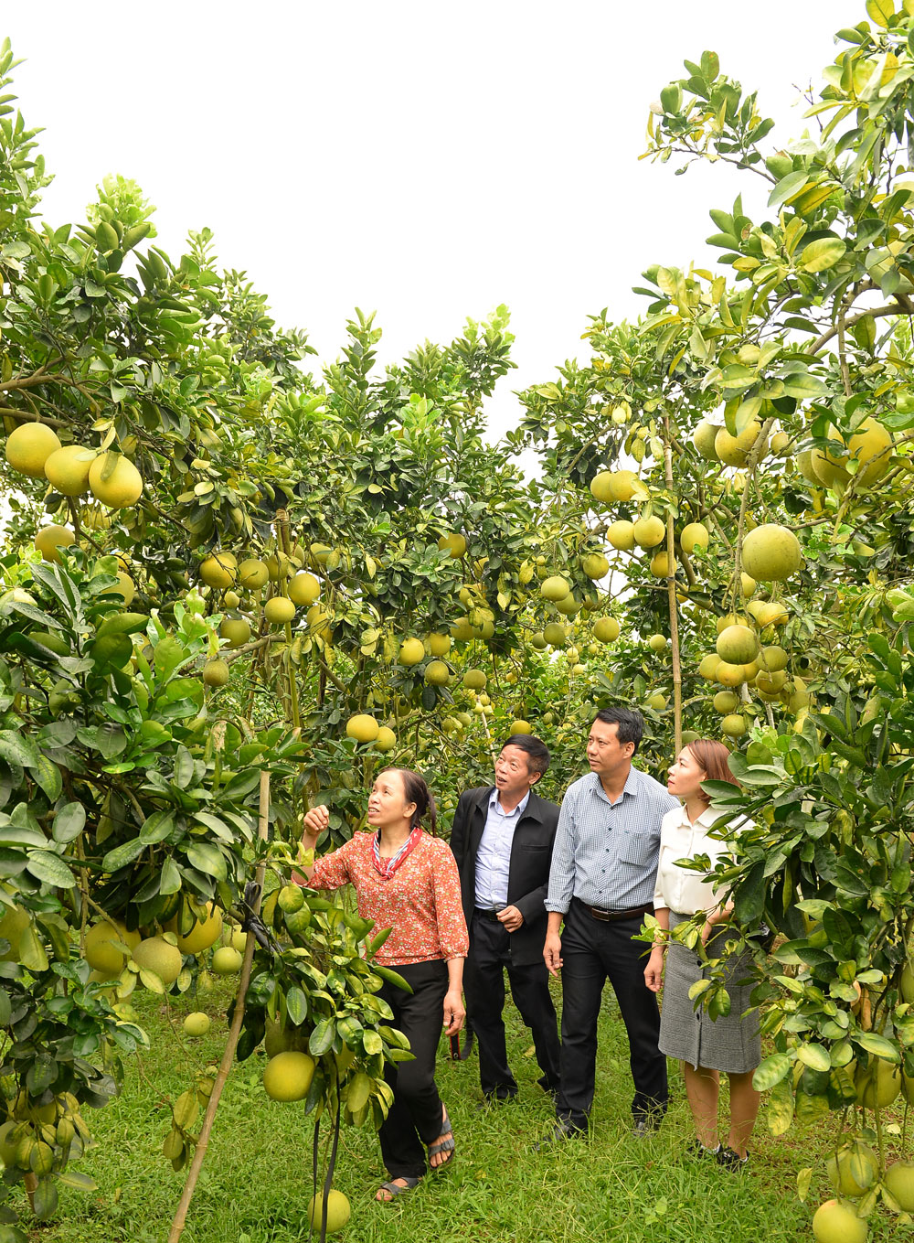 Orange and pomelo, laden orchards, draw numerous visitors, Luc Ngan district, Bac Giang province, orchard tour, food hygiene and safety, sweet fruit