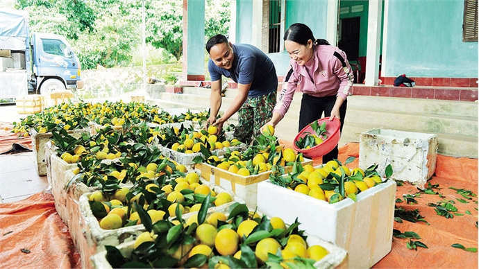 Visiting land of orange and pomelo Luc Ngan