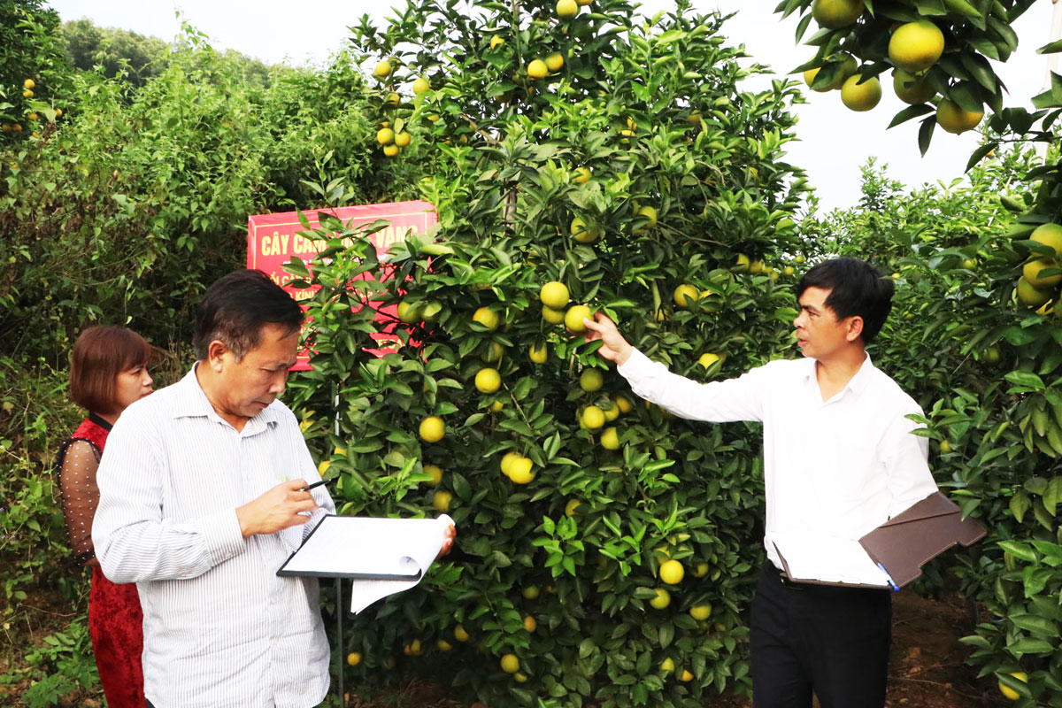 Bac Giang province, land of orange and pomelo, Luc Ngan district, fruit tree cultivation, fruit cultivation, ripen fruit season