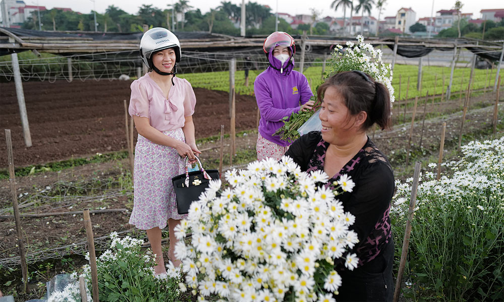 Daisy season, livens up, Hanoi ambience, white daisies blossoming, harvested flowers, gratitude and respect