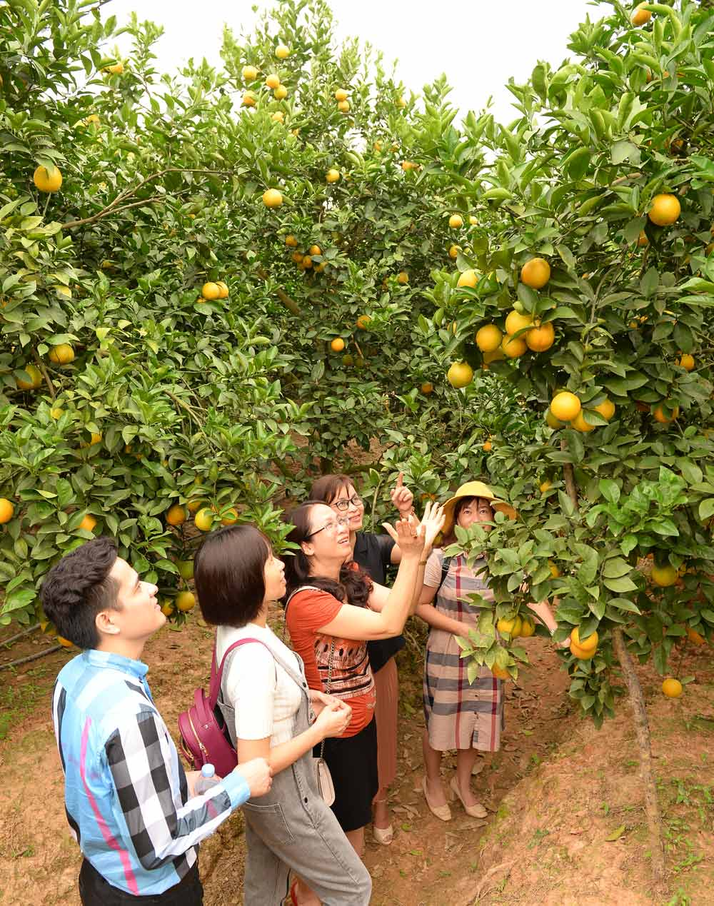 Many customers, Luc Ngan orange and pomelo, electronic trading platform, Bac Giang province, slightly increased price, delegations of tourists