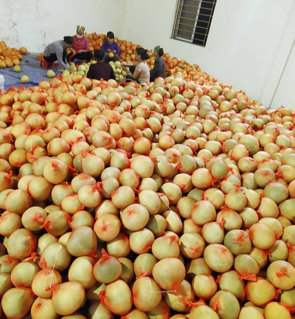 First batch of pomelo, exported to Russia, Bac Giang province, Luc Ngan district, sweet red pomelo, Kim Hang Organic Agriculture Technology, purchasing contract