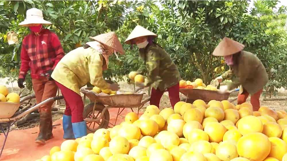 First batch of pomelo exported to Russia