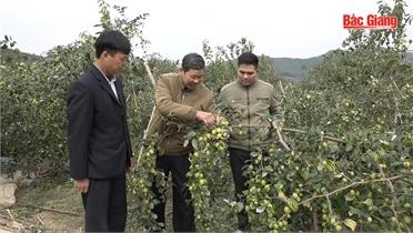 Cây táo cho năng suất cao nhờ cách khoanh cành