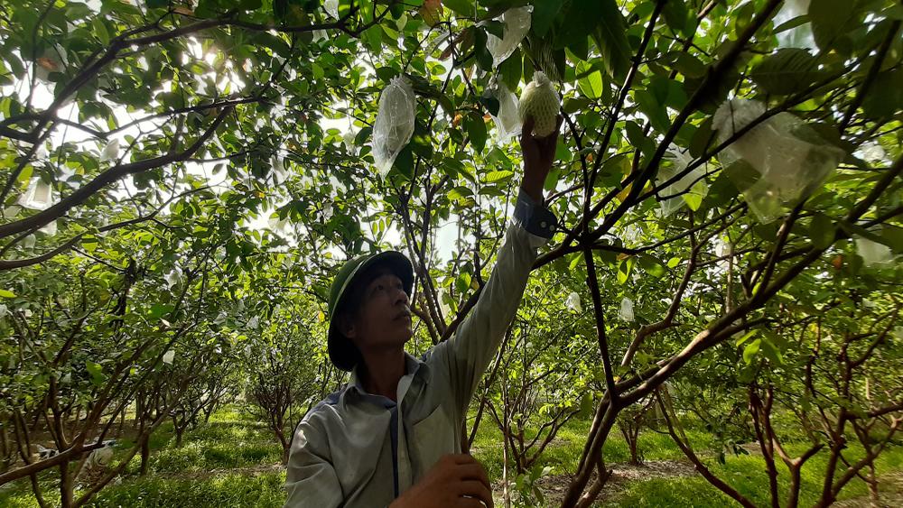 Tân Yên mở rộng diện tích cây ăn quả được cấp chứng nhận VietGAP lên 373,3 ha