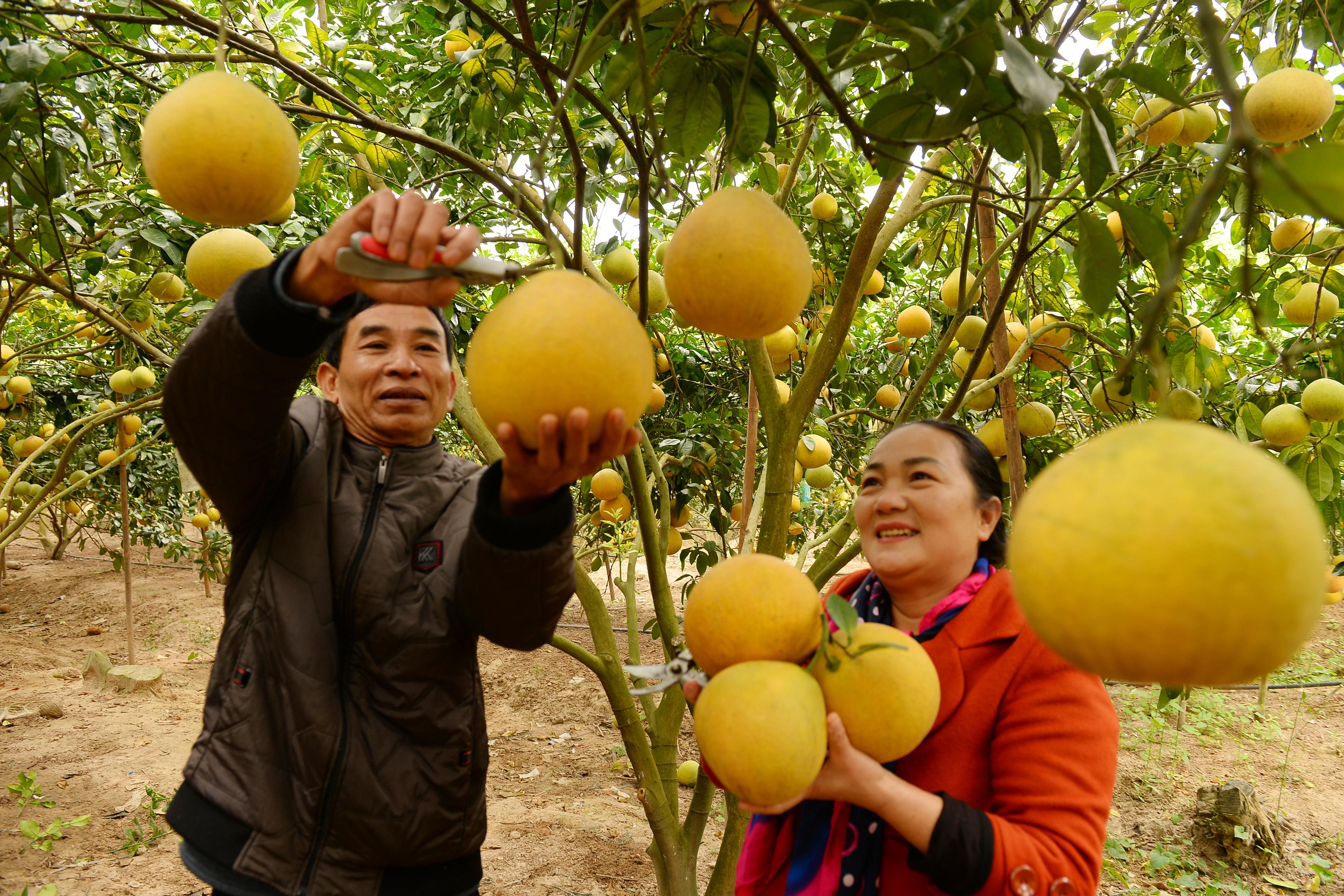 """quả bưởi """"đi Tây"""", nông sản xuất khẩu, Công ty Kim Hằng, Lục Ngạn, liên kết sản xuất, bưởi xuất khẩu"""