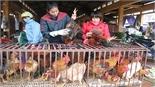 Chăn nuôi gà phục vụ Tết: Trọng chất hơn lượng