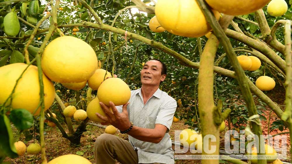 Bac Giang, 40,000 tonnes of orange, pomelo,