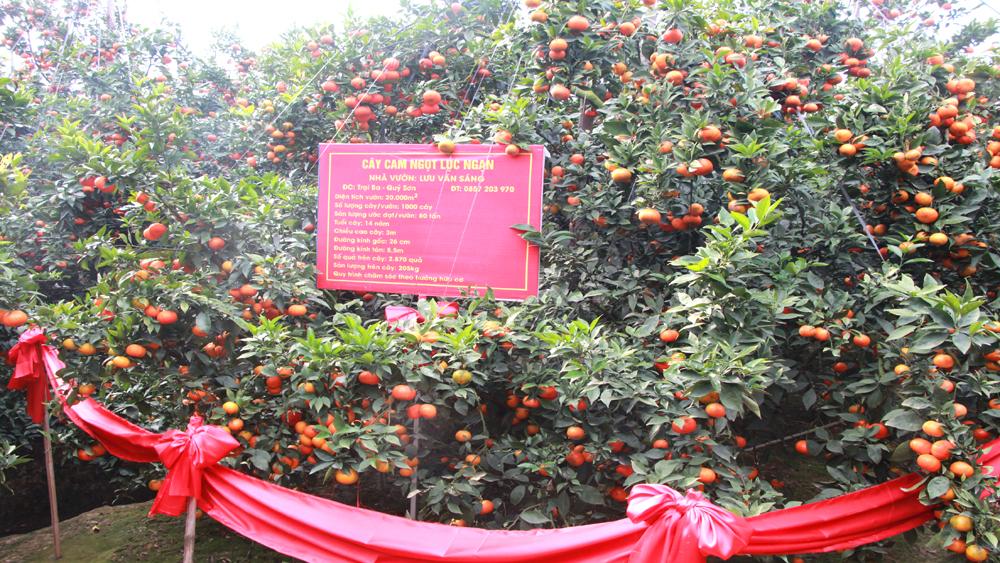 Cây cam ngọt được đấu giá 65 triệu đồng của hộ ông Lưu Văn Sáng.